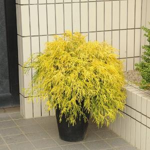 庭樹盆栽:フィリフェラオーレア鉢植え|y-bonsai