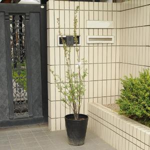 庭樹盆栽:小手毬(コデマリ) ヤマト便大型商品発送|y-bonsai