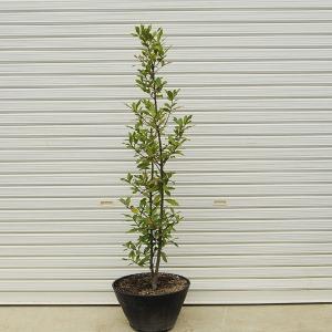 庭樹盆栽:月桂樹(ゲッケイジュ)|y-bonsai