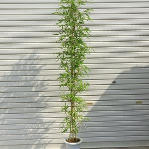 庭木:ホテイチク(布袋竹)* (ポット植え) 樹高:120cm 全高:150cm ヤマト便(大型商品)発送|y-bonsai