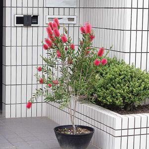 庭樹盆栽:ブラシの木|y-bonsai
