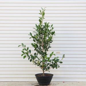 庭樹:榊(サカキ)鉢植え* SGW大型商品発送|y-bonsai