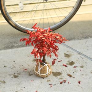 庭木:南天(お多福南天・小)|y-bonsai