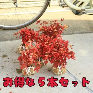 庭木:南天(お多福南天・小)5本セット*お得|y-bonsai