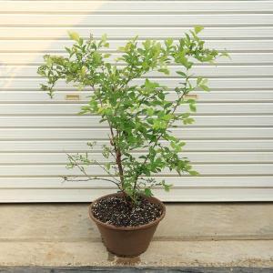 プレゼントにもオススメ  庭木:ブルーベリー(ホームベリー)* 陶鉢植え ヤマト便大型商品発送|y-bonsai