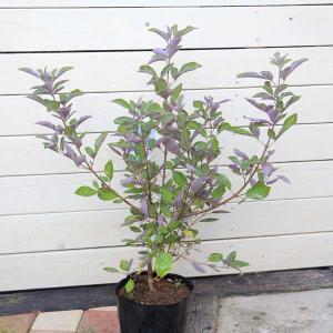 庭木:西洋ニンジンボク(プルプレア)|y-bonsai