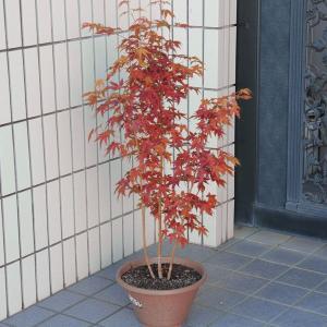 紅葉の代表樹  庭樹盆栽:山もみじ寄せ*(ヤマモミジ) プラスチック鉢植え|y-bonsai