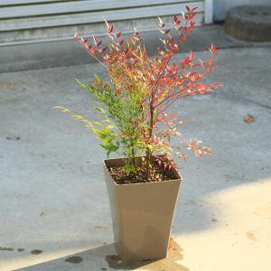 玄関前定番の樹 庭樹盆栽:紅白南天(鉢植え)* 鉢色選べます(白or黒)|y-bonsai