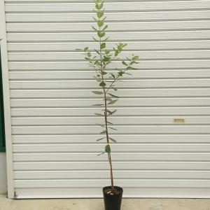庭木:フェイジョア(ふぇいじょあ)* アポロorジェミニorマリアンorクーリッジorマンモス 挿木苗 y-bonsai