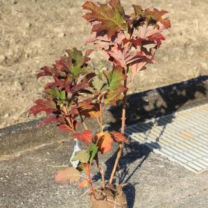 庭木:カシワバアジサイ 一重咲き (スノークイーン) 大株 y-bonsai