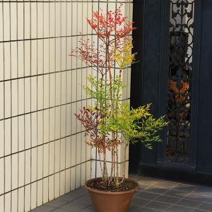 厄除け・縁起良し  庭樹盆栽:紅白南天(特選品) 鉢植え 全高:約90-100cm*ヤマト便発送!|y-bonsai