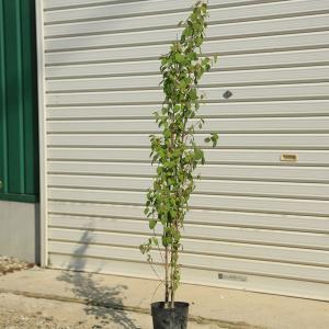 お手頃価格で新登場  庭木:桂の木(カツラの木) *寄せ植え (2-3本) 樹高:約70cm