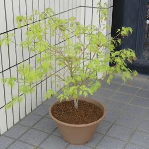 お庭がなくても涼しげな和の風情を  庭樹盆栽:青しだれもみじ(青枝垂れもみじ)*全高:約80cm 鉢植え|y-bonsai