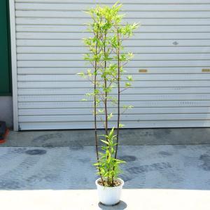庭木:黒竹(くろちく) 樹高:80cm y-bonsai