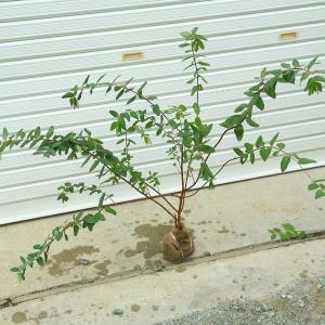 庭木:キンシバイ(金糸梅)根巻き 樹高:50-60cm|y-bonsai