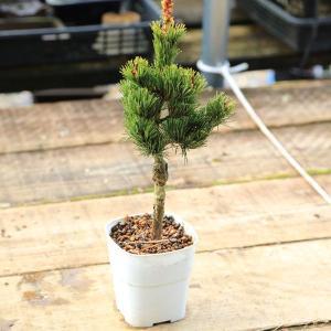 苗:五葉松(直)ごようまつ*|y-bonsai