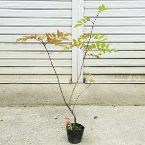 実も紅葉もすばらしい  庭木苗:ナナカマド(ななかまど)|y-bonsai