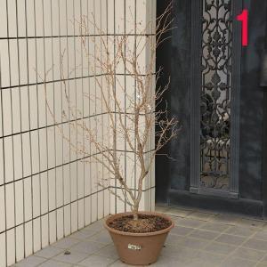 庭樹盆栽:湖上の舞(雲流性富士桜) *特選品 ヤマト便大型商品発送|y-bonsai