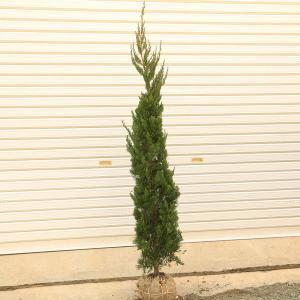 庭木:カイヅカイブキ(貝塚伊吹)かいづか*針葉樹、コニファー ヤマト便大型商品発送|y-bonsai