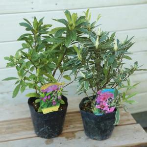 庭木苗:オオムラサキツツジ* 金星or銀星|y-bonsai
