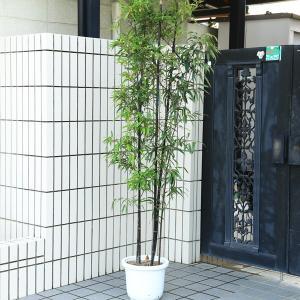 特選庭木:黒竹(くろちく)*全高180cm程度  SGW大型商品発送|y-bonsai