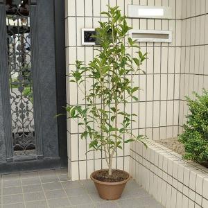 庭樹盆栽:キンモクセイ鉢植え*ヤマト便(大型商品)発送|y-bonsai