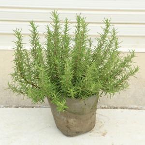 庭木・植木:ローズマリー(ろーずまりー)(立ち性)*大株|y-bonsai