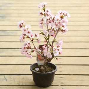 苗・庭木苗:御殿場桜(ごてんばさくら)* 花縁が桃色に染まる美しい一重咲き|y-bonsai