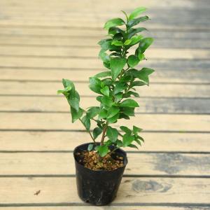 庭木・苗:ヒサカキ* 仏花(ビシャコ、シャシャキ、下草)としても有名です