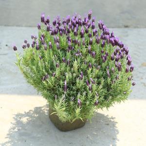 庭木 植木 ハーブ:ラベンダー(らべんだー)(エイボンビュー)大株|y-bonsai