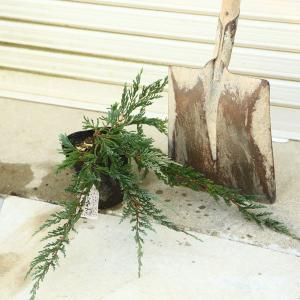 庭木 グランドカバー:ほふく性 コニファー *ブルー系 ハイビャクシン系 各種お選びください カーペット バーハーバー パシフィック y-bonsai