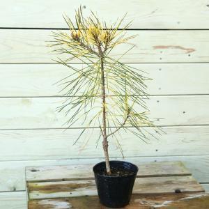 庭木苗:ジャノメ赤松(蛇の目赤松)|y-bonsai