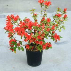 庭木:キンモウツツジ(金毛躑躅)* 珍しい肉厚の葉と美しい花色|y-bonsai