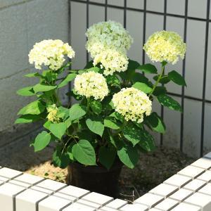 樹種:アジサイ(アナベル)  撮影日:6月  樹高:約40cm  全高:50cm プラスチック鉢:約...