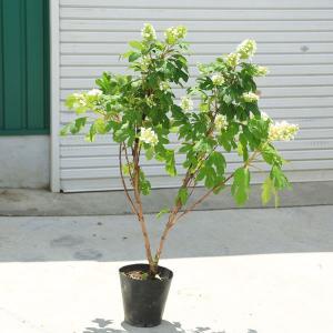 庭木:カシワバアジサイ 一重咲き (スノークイーン)*特大株 ポット