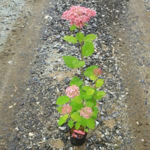 樹種:アジサイ(ピンクアナベル)  撮影日:6月  開花時期:6月〜7月  初夏にお庭を優しい雰囲気...
