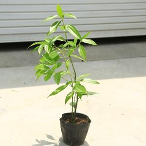 庭木・植木:ニッケイ(日桂)*ニッキの木|y-bonsai