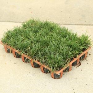 庭木・グランドカバー:斑入玉竜(24ポット)|y-bonsai