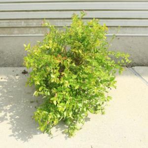 庭木・植木:黄金シモツケ(ゴールドフレーム)根巻 大株!|y-bonsai