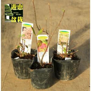 庭木・植木:八汐つつじ(やしおつつじ)ヤシオツツジ*花色お選びください! 紫八汐 赤八汐 白八汐|y-bonsai