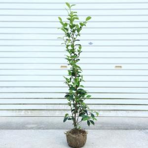 庭木・植木:本榊(サカキ)さかき  樹高100cm*送料無料! |y-bonsai