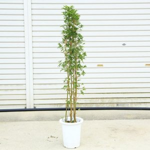 庭木・植木:鳳凰竹(ほうおう竹)ホウオウチク  樹高100cm|y-bonsai