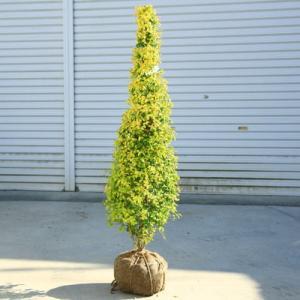 送料無料 庭木:斑入りプリペット(レモンアンドライム)樹高:110cm* ツリー仕立て ヤマト便大型商品発送!|y-bonsai