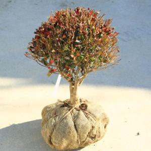 庭木・植木:庭木・植木苗:ドウダンツツジ(玉造り)* 玉幅:約30cm y-bonsai
