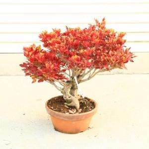 庭木・特選植木:ツクモドウダンツツジ 現品限り!*:樹高:約45cm 送料無料! ヤマト便発送!|y-bonsai