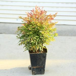 庭木・植木:南天(なんてん)オブサス*|y-bonsai