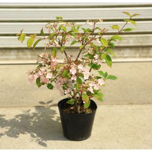 庭木・植木苗:ビバーナム ピンクビューティー 4寸ポット 可愛い鉢植えにもできます!|y-bonsai