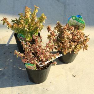 庭木・グランドカバー:アベリア(あべりあ)各種 ラディアンスorマジックデイドリームorレディリバティー お選びください。|y-bonsai