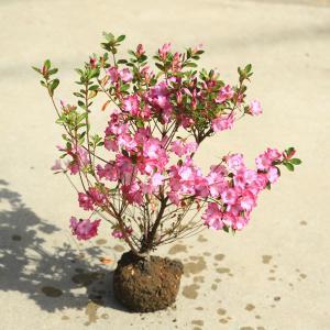 庭木:久留米つつじ/クルメツツジ  ゆめかすり(夢かすり)*紫色の縁取りが美しい|y-bonsai