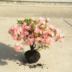 庭木:久留米つつじ/クルメツツジ  錦司(にしきつかさ)*薄桃色の縁取り花|y-bonsai